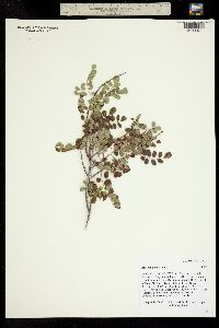 Amorpha nana image