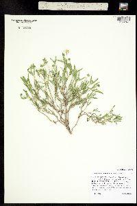 Image of Melampodium leucanthum