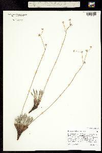Image of Eriogonum lachnogynum