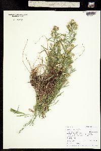 Symphyotrichum porteri image