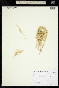 Nitrophila occidentalis image
