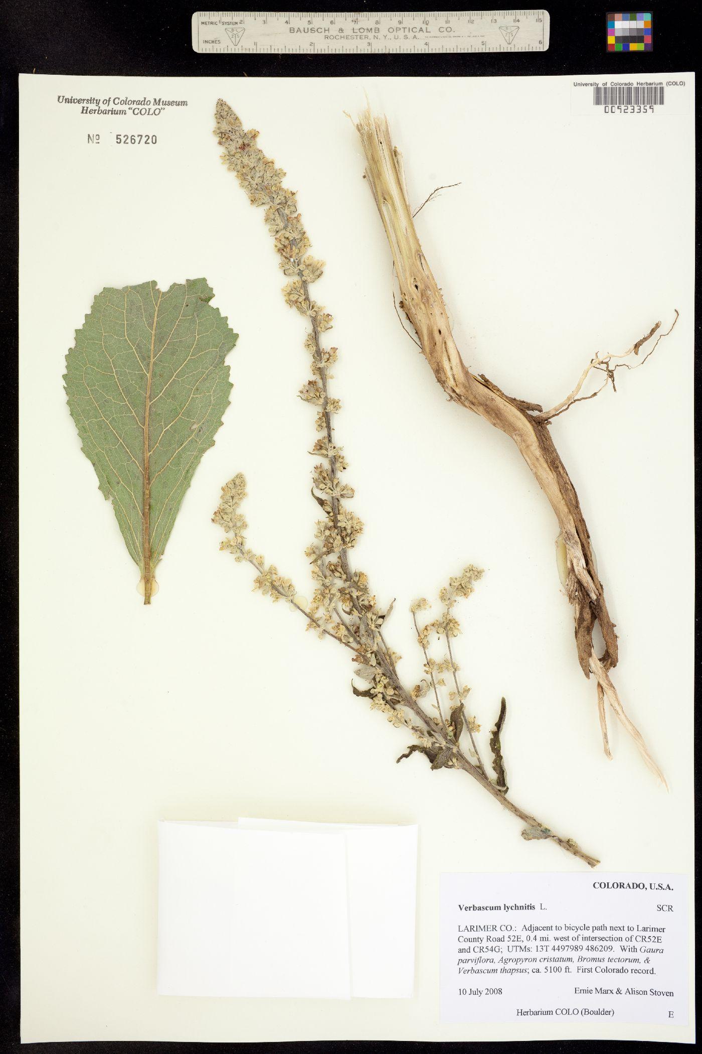 Verbascum lychnitis image