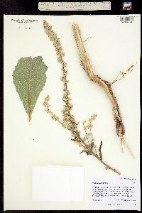 Image of Verbascum lychnitis