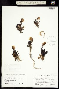 Image of Chionophila jamesii