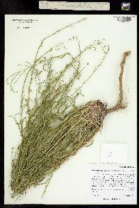 Image of Aster orthophyllus