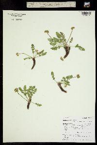 Podistera eastwoodiae image