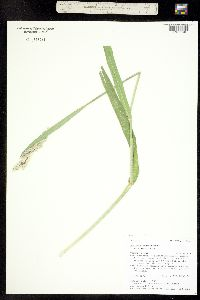 Image of Phalaris arundinacea
