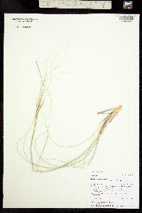 Hesperostipa neomexicana image