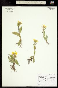 Arnica rydbergii image