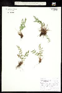 Woodsia oregana subsp. cathcartiana image