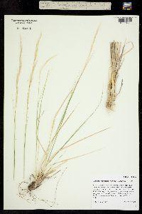 Achnatherum scribneri image