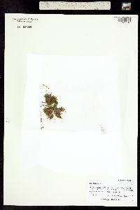 Image of Koenigia islandica