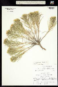 Image of Oönopsis engelmannii