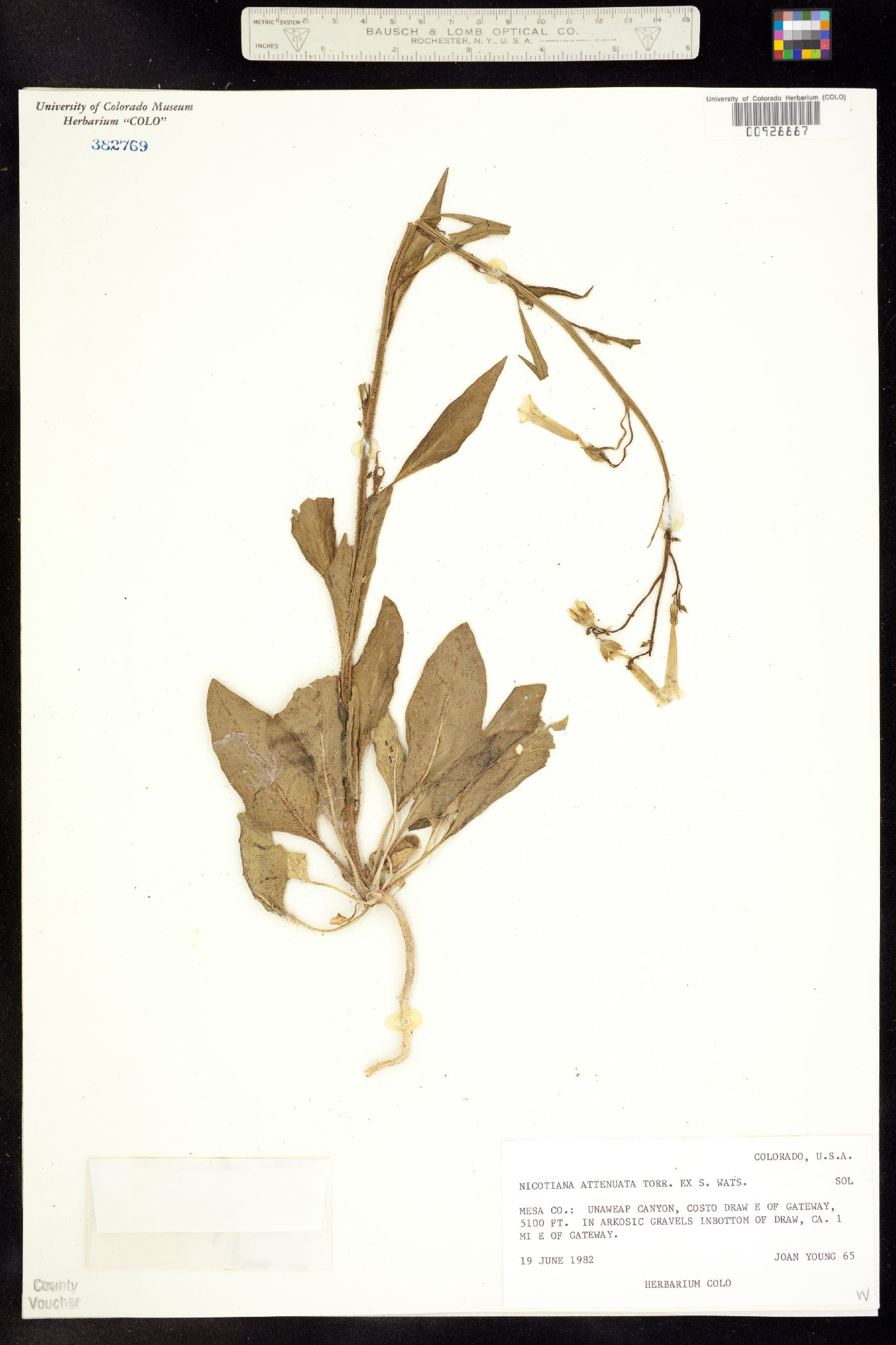 Nicotiana image