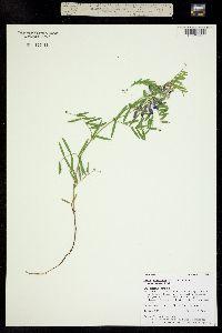 Vicia americana subsp. minor image