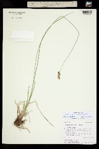 Carex occidentalis image