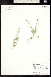 Ranunculus pedatifidus image