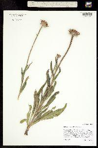 Image of Echinacea angustifolia