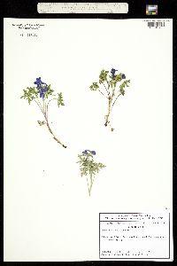 Delphinium alpestre image