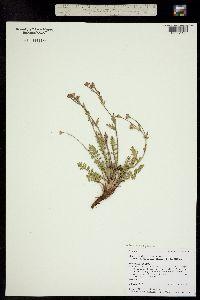 Image of Geum rossii