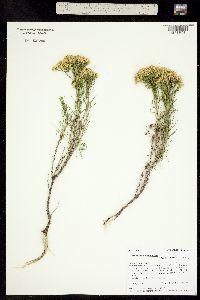 Gutierrezia sarothrae image