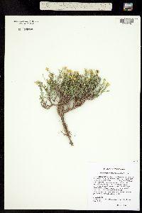 Image of Gutierrezia elegans