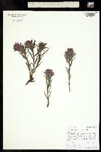 Castilleja haydenii image