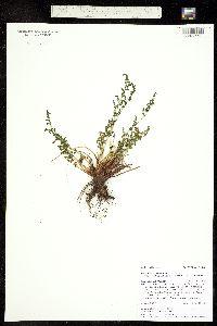Woodsia oregana subsp. cathcartiana image