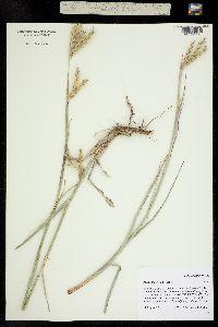 Andropogon hallii image