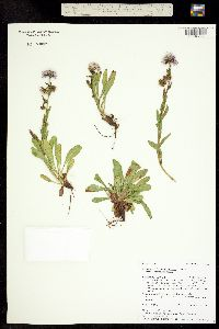 Erigeron formosissimus var. formosissimus image