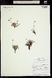 Potentilla hookeriana image