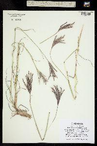 Bothriochloa ischaemum image
