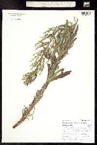 Image of Hackelia besseyi