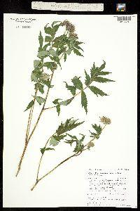 Hydrophyllum fendleri image