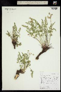 Aletes anisatus image