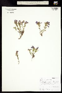 Penstemon harbourii image