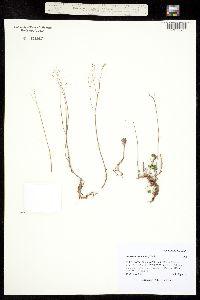 Image of Orosedum album