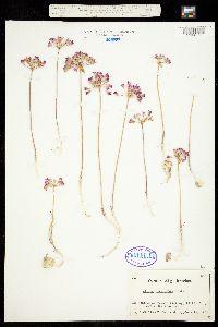 Allium acuminatum image