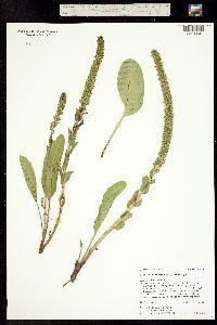 Besseya plantaginea image