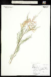 Tamarix ramosissima image