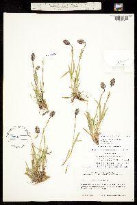 Silene uralensis subsp. uralensis image
