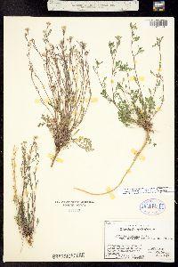 Lepidium montanum var. tenellum image