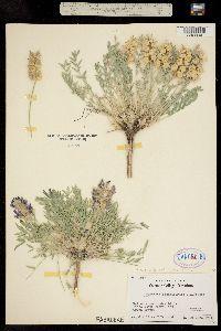 Oxytropis besseyi image