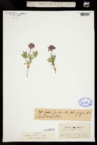 Trifolium parryi image
