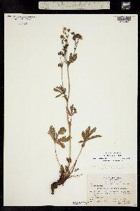Potentilla brunnescens image
