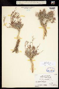Image of Eriogonum contortum