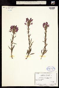 Pedicularis crenulata image