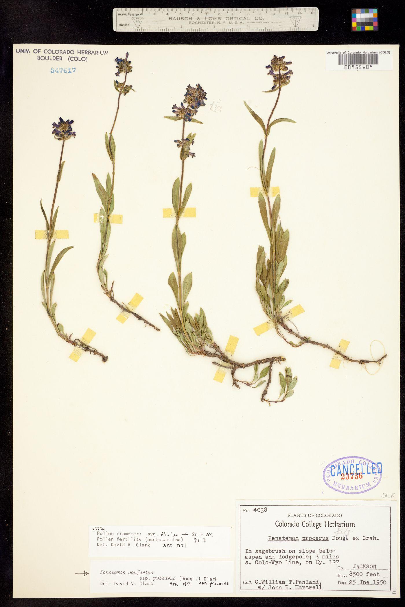 Penstemon confertus ssp. procerus image