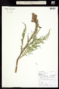 Pedicularis procera image