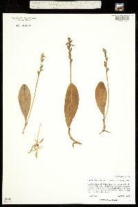 Image of Lysiella obtusata